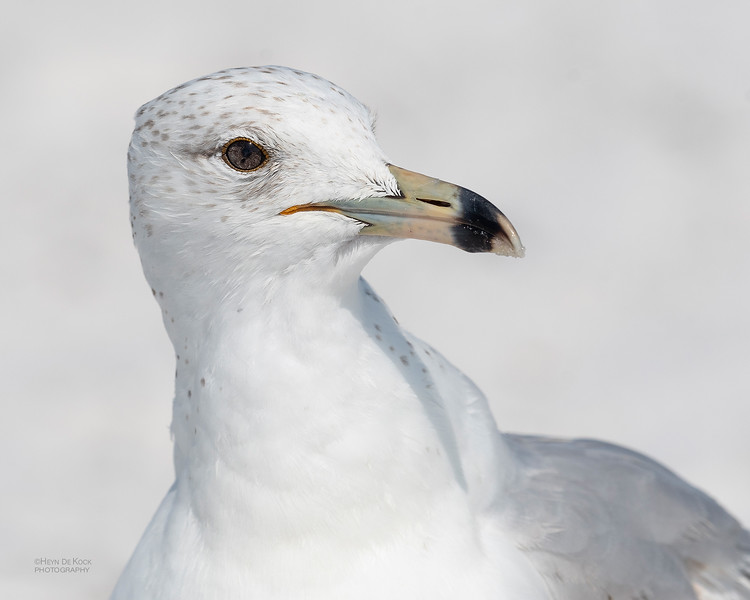 Ring-billed Gull, Fort De Soto, St Petersburg, FL, USA, May 2018-4.jpg