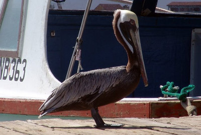 Brown Pelican, Bruine Peliaan, Pelikan, Pelecanus occidentalis