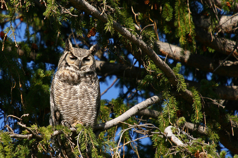 A great horned owl perches next to her nest