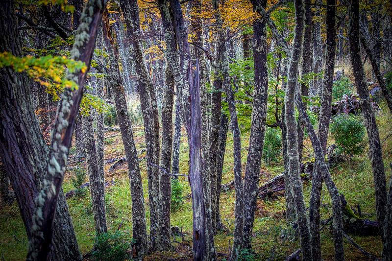 Lenga Forest El Chalaten-1.jpg