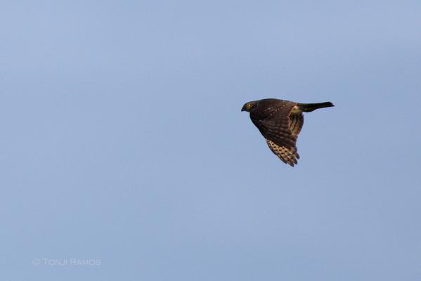 Japanese Sparrowhawk