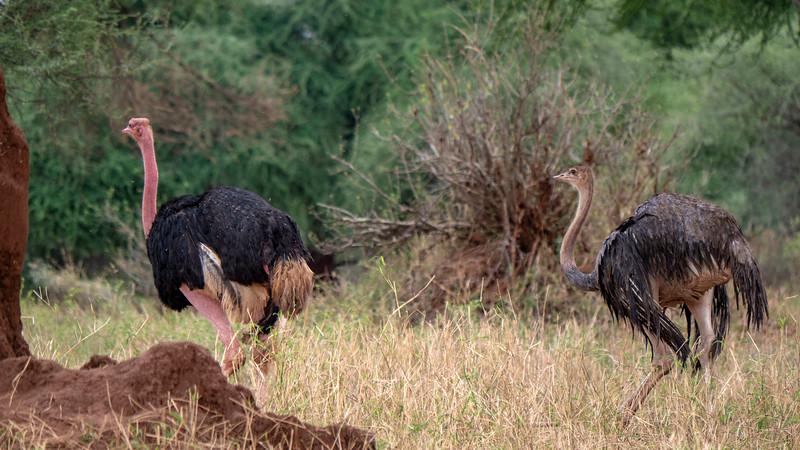 Tanzania-Tarangire-National-Park-Safari-Ostrich-02.jpg