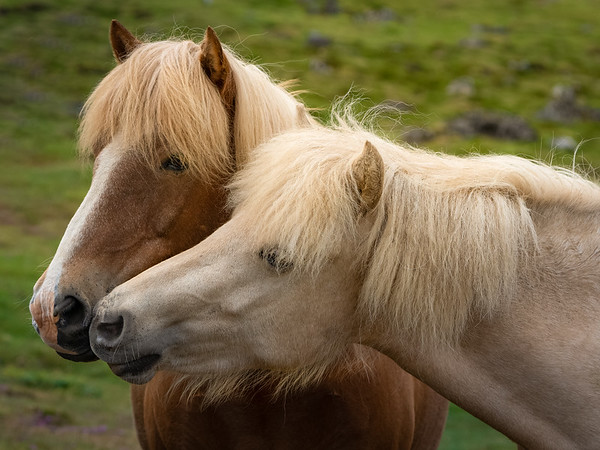How I got the shot - Icelandic Horses
