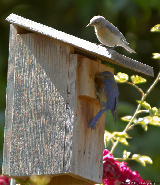 Western Bluebird 2-5628.jpg