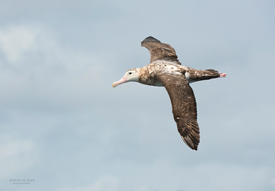 New Zealand Albatross (Diomedea antipodensis) VU