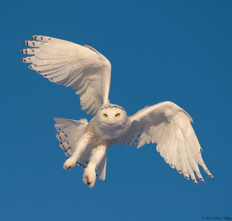 Favorite Raptors & Owls