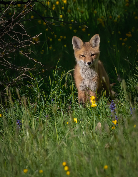 _6004622-Edit Fox kit.jpg