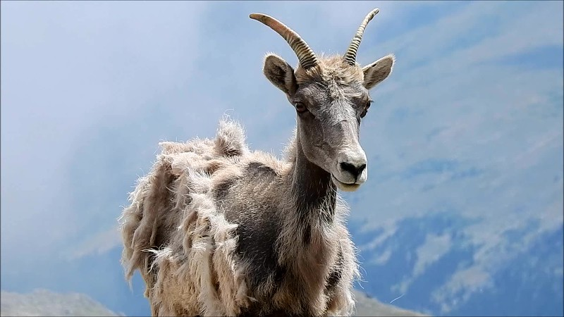 Evans Big Horn Sheep 2018.wmv
