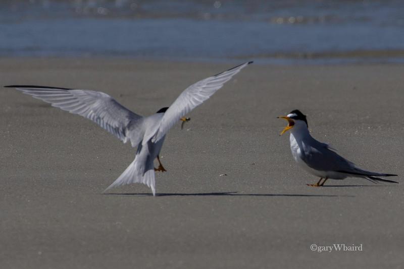 Least Tern Feeding Time