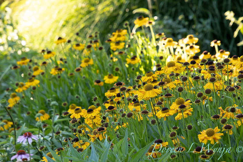 Helenium 'Wyndley' in a landscape_6077.jpg