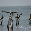 Pelicans along the Coden beach of the Mississippi Sound, Alabama gulf coast.  Picture taken May 28, 2010.  No sign of oil.