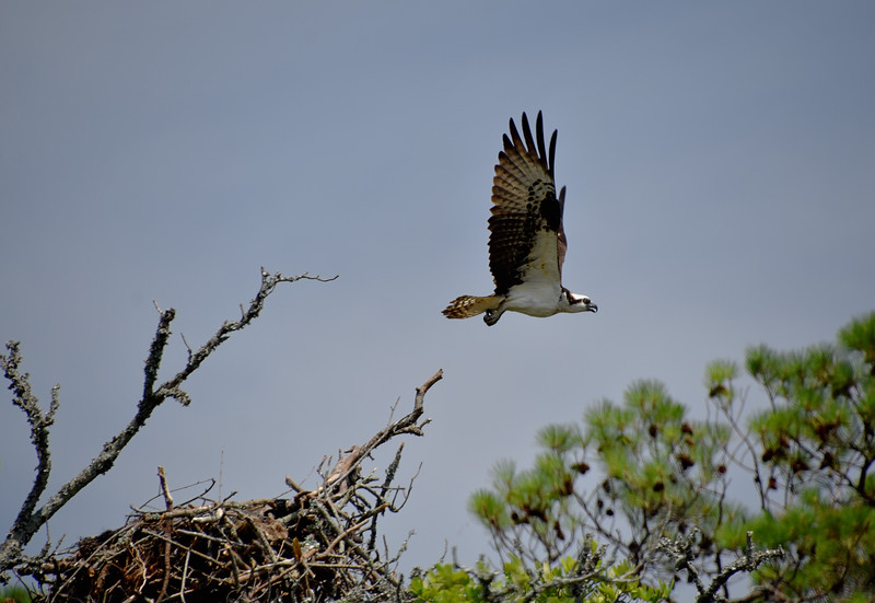 Osprey6-North-Carolina-Outer-banks.jpg