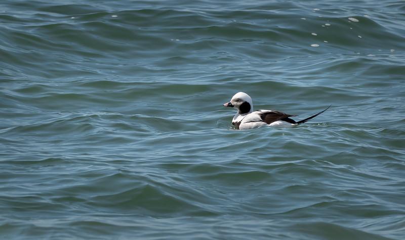 Long-tailed duck  / Harelde kakawi