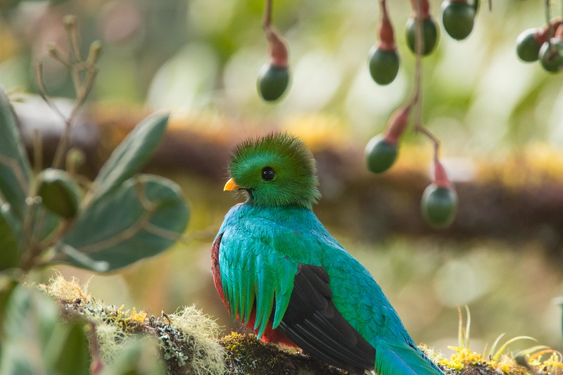 Resplendent quetzal, male, with wild avacados