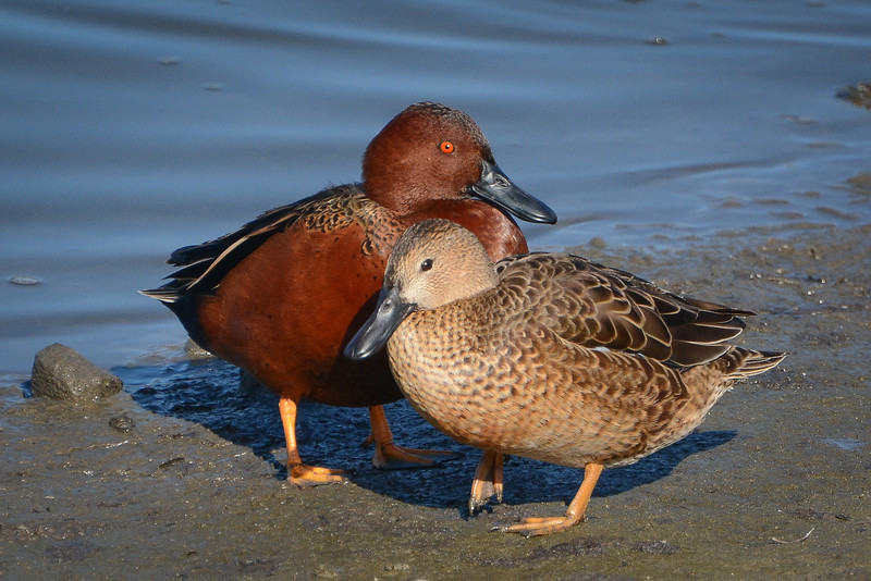 Cinnamon Teal Drake and Hen