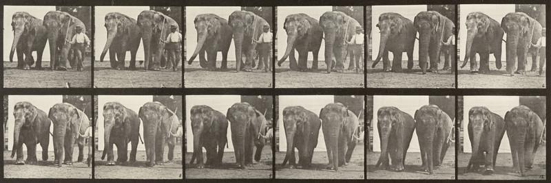 Two elephants walking (Animal Locomotion, 1887, plate 734)