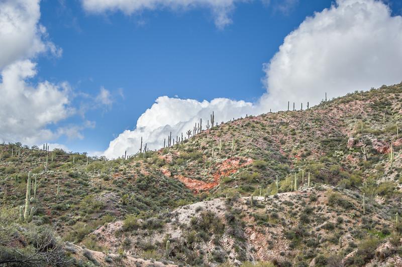 Saguaro cactus on hillside, Castle Hot Springs road, AZ (Feb 2019)