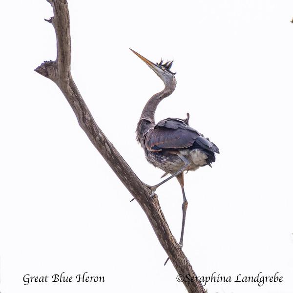 _DSC2206Great Blue Heron.jpg