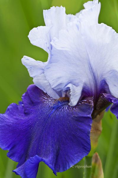 Bearded Iris Best Bet