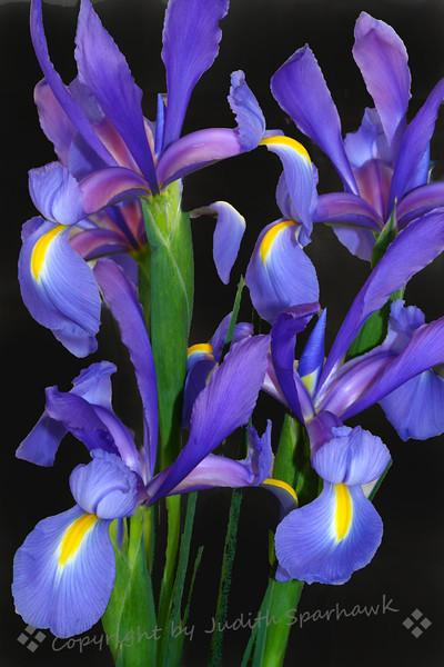 Van Gogh's Iris.jpg