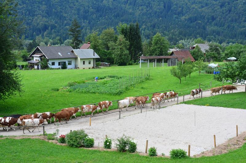 Cows. Selo pri Bledu
