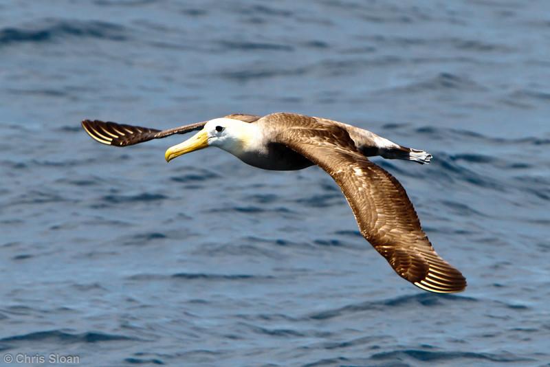 Waved Albatross at between Espanola and San Cristobal, Galapagos, Ecuador (11-21-2011) - 702.jpg