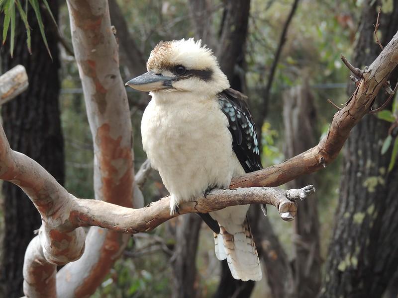 Kookabura bird in Australia