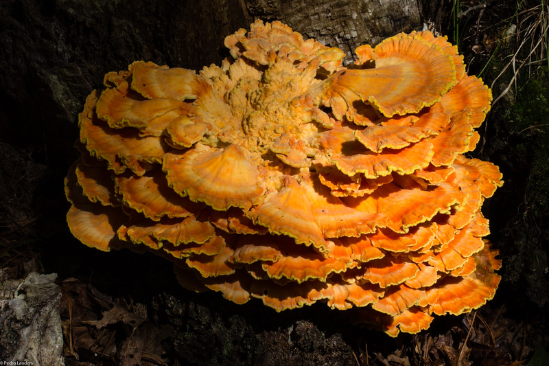 Sulphur Shelf Fungi 01.jpg