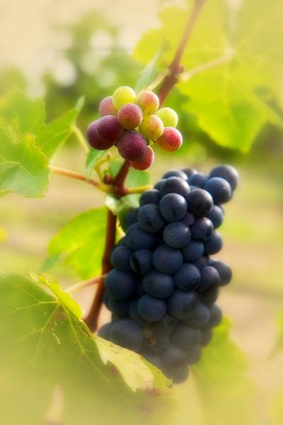 Livermore Vineyards Harvest '112011-09-1111-03-08 - Version 2.jpg