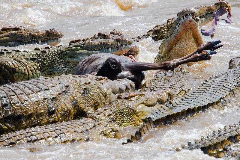 Crocodile feast on wildebeest
