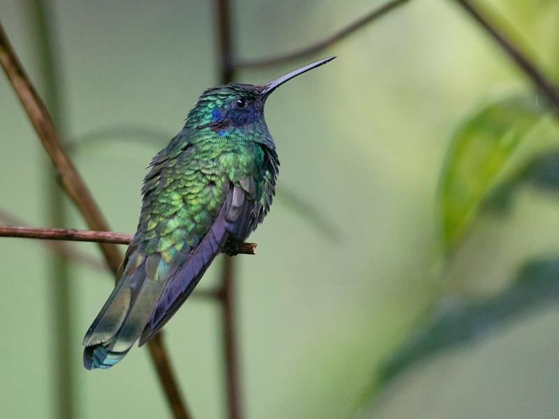 Hummingbird, Cosñipata Valley