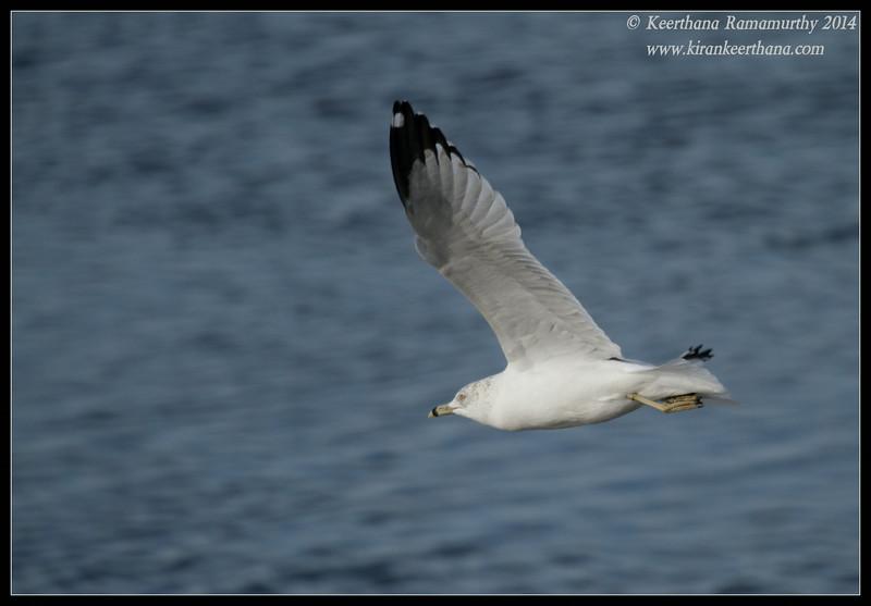 Ring-billed Gull, Robb Field, San Diego River, San Diego County, California, February 2014
