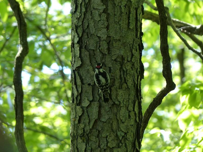 Male Downy Woodpecker on Black Cherry trunk.