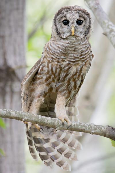 #650 Barred Owl