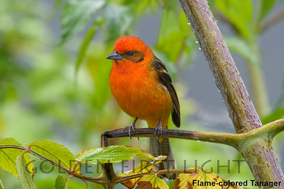 Flame-colored Tanager, Costa Rica