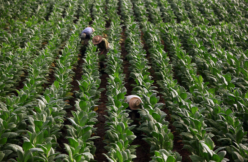 . A photo made available on 23 Febraury 2014 shows a group of workers as they collect tobacco leafs at San Juan y Martinez municipality, Pinar del Rio province in Cuba, on 21 February 2014. The XVI edition of the \'Festival of Havana Cigars\' will start on 24 February 2014 in Havana as a homage to main Cuban tobacco and cigar brands such as \'Hoyo de Monterrey\', \'Partagas\' or \'Trinidad\'.  (EPA/ALEJANDRO ERNESTO)