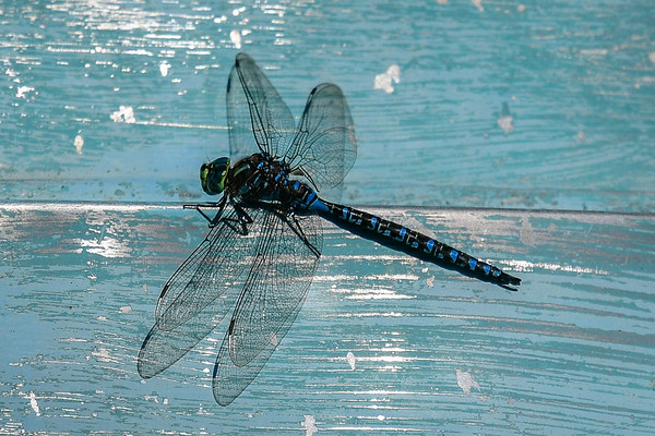 8-21-17 Dragon Flies