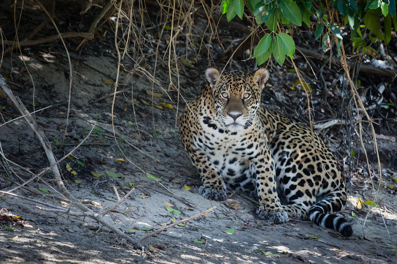 Jaguar in the Pantanal