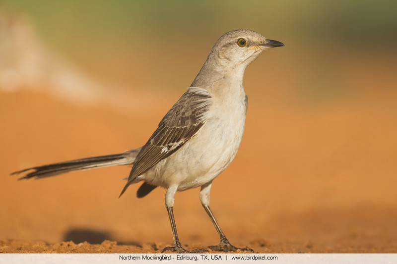 Northern Mockingbird - Edinburg, TX, USA