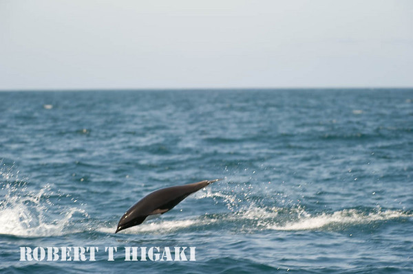 Northern Right whale dolphin