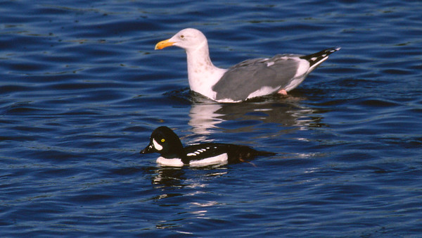 Alameda County Bird Images Library