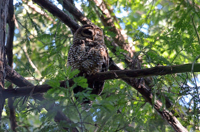 Spotted Owls 2012