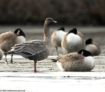 Other Geese