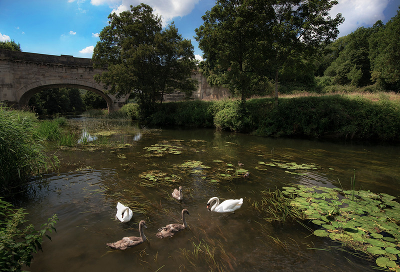Swans on a river.  Somerset, England, 2018