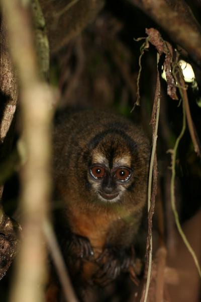 2006-02-21-0019-Thompson Family Adventures trip to Panama with Hahns-Day 4-Bocas del Toro, Salt Creek-Night Monkey.jpg