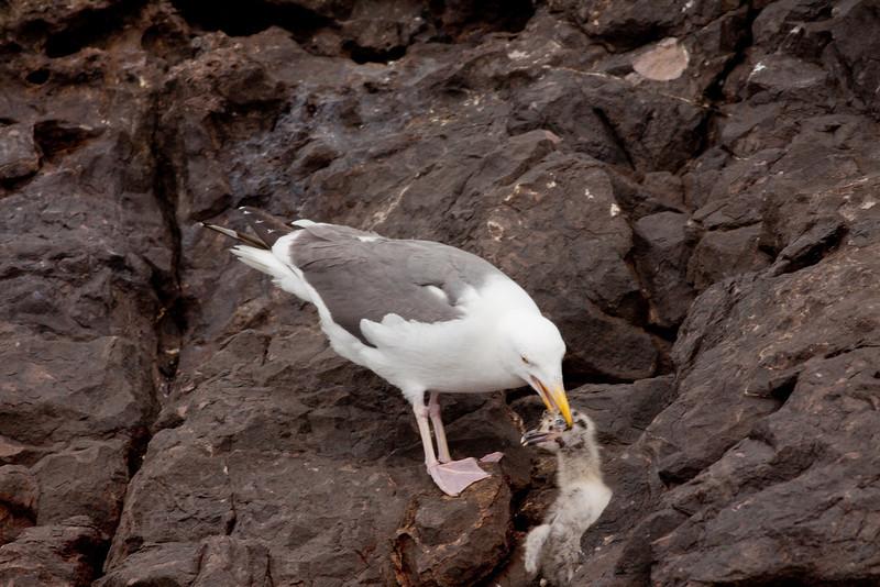 Western Gull  Los Coronados Islands 2010 06 16-15.CR2