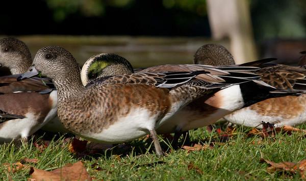 American Wigeon (Anas americana ➛ Mareca americana)