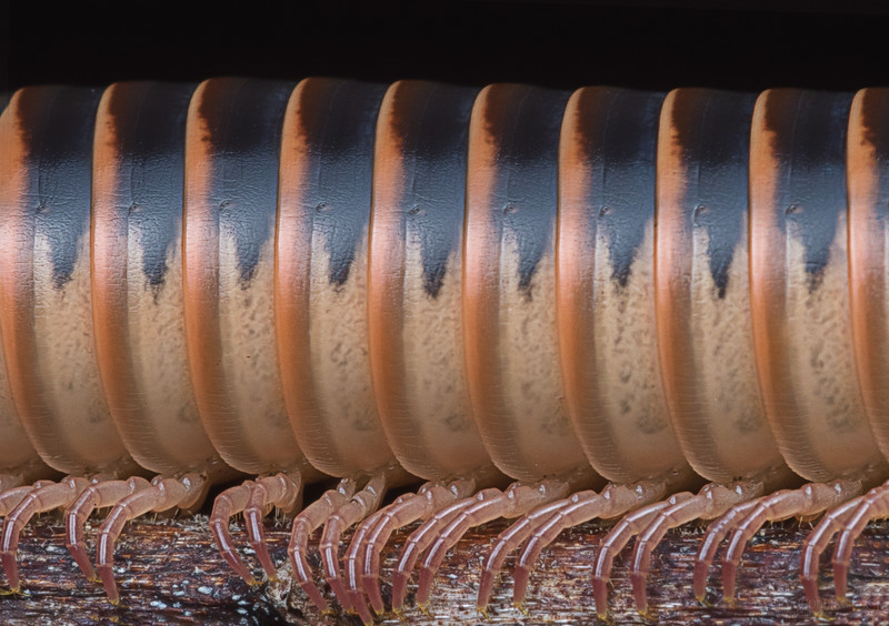 Florida ivory millipede