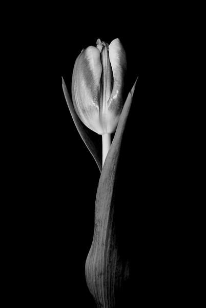 002 Valentines Day Tulip 08.jpg