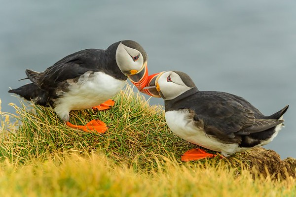 Atlantic Puffin Courtship Display
